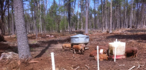 Pigs Preparing Silvopasture