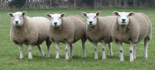 Texel Ewes